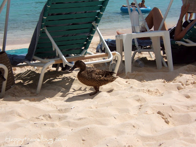 Duck in the sand on the beach