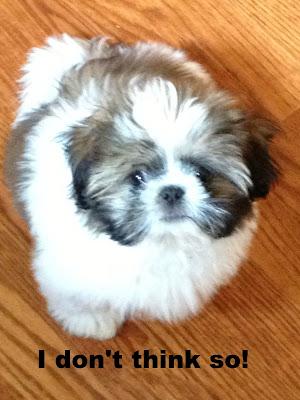 My Shih Tzu puppy named Louie