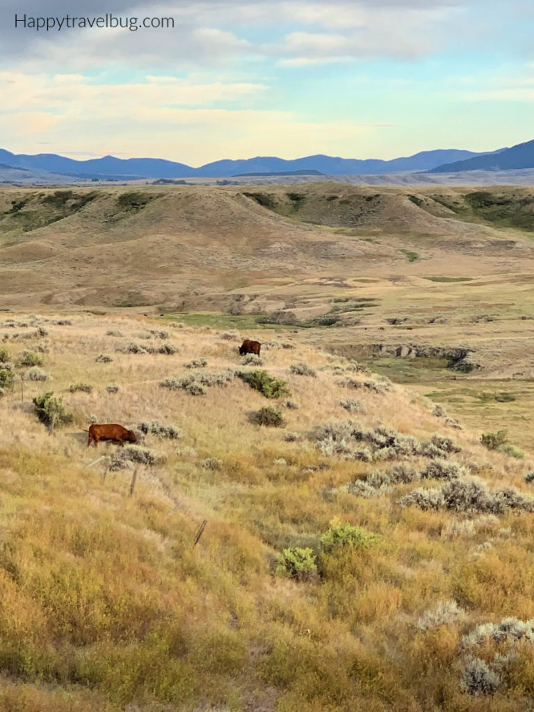Montana countryside with a few brown cows